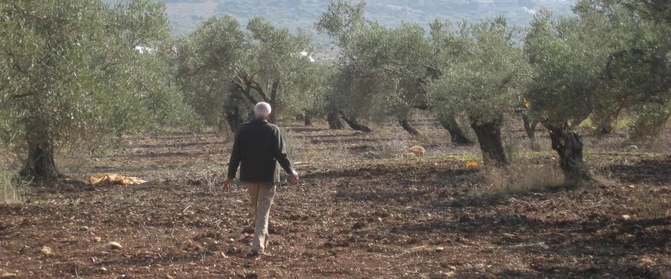 MERC_Palestinian_farmer_olive_grove