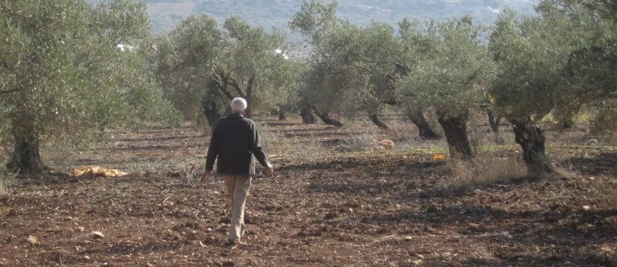An Arab-Israeli farmer in his olive orchard surveying the effectiveness of olive fly traps, a MERC-supported research project.
